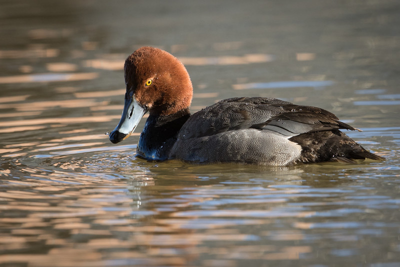 Canvasback-6958