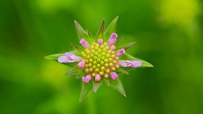 Acker-Witwenblume   Knautia arvensis  - mehr dazu im Blog: Wildblumenwiese
