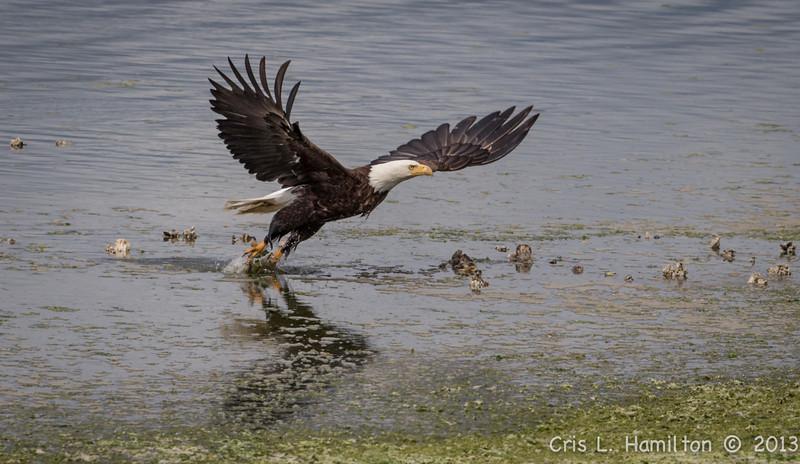 Eagle fishing-5663