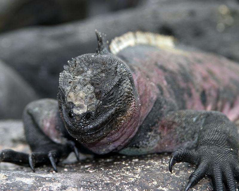 Iguana - marine - Fernandina Island