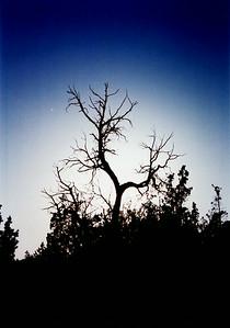 tree new mexico