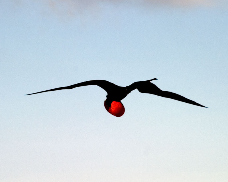 Frigate bird - The males extend their throat pouches in a competition to get the females attention during mating season.