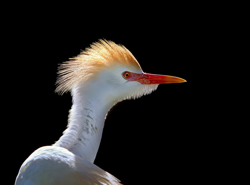 Nature Photographer Jerry Dalrymple shares images of a rookery in Florida. This is a cattle egret on Merritt Island, Florida