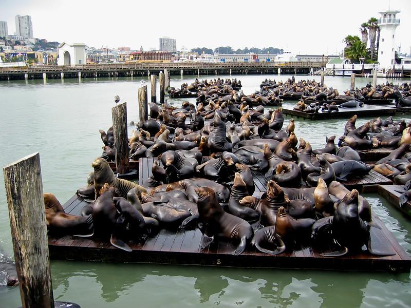 freilebende Seelöwen / San Francisco