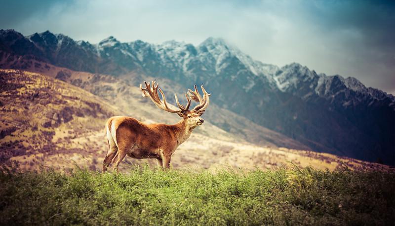 Majestic Deer in Queenstown