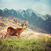 Majestic Deer in Queenstown