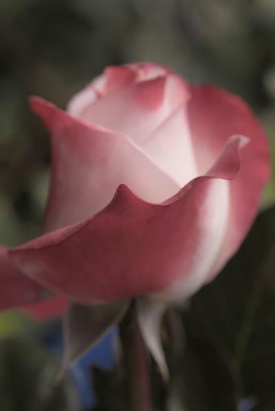Hever Rose_1