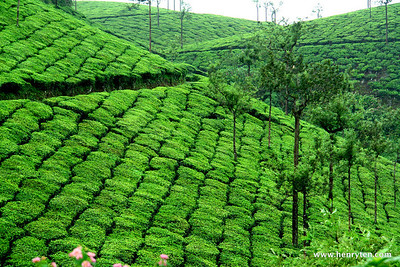 Tea Plantation, Kerala