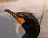 Everglades Cormorant