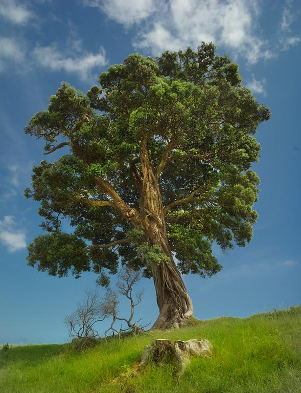 Tree In Waiheke