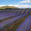 Lavender Fields on the way to Mount Cook