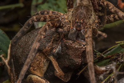 A fishing spider has seized a pair of peters dwarf frogs (Engystomops petersi) that were in amplexus and getting ready to deposit eggs.  The spider has the female yet the male remains holding on to her.