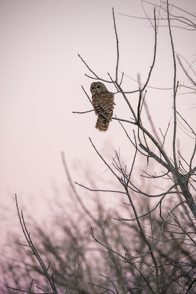 Barred Owl ~ Oklahoma Sunset