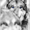 Selective color portrait of one of the wolves at Wolf Park in Battle Ground, Indiana near Purdue University