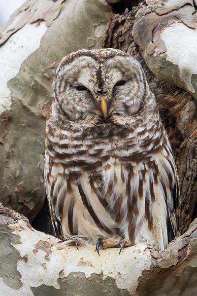 Barred Owl-4791