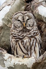 Barred Owl-4791