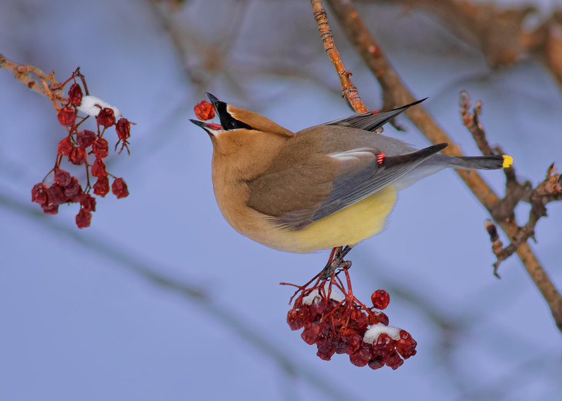 Waxwing Berry Delivery System