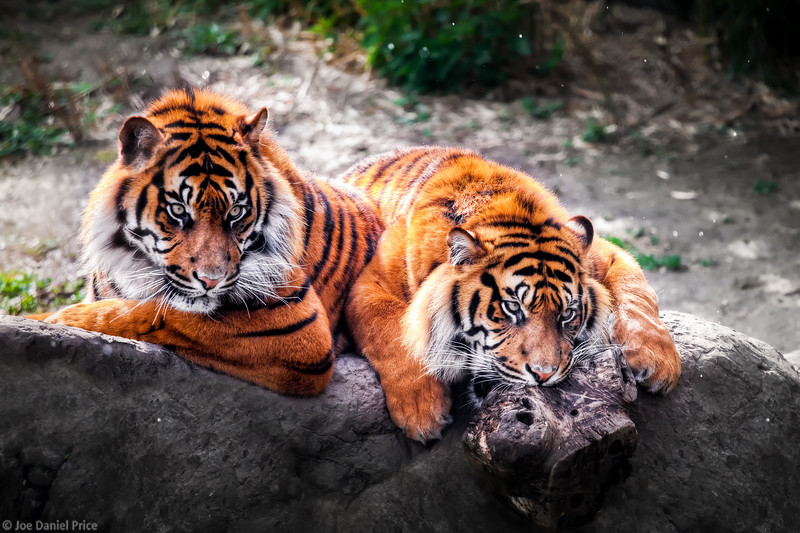 Two Beautiful Young Tigers