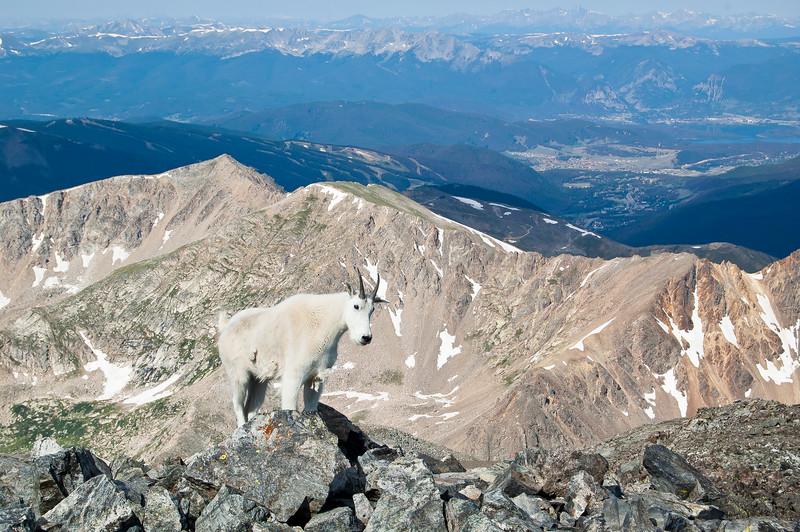 Mountain Goat on Ridge