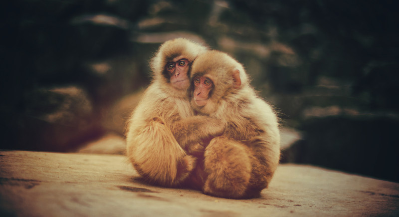 """<h2>Baby Snow Monkeys, Scared and Hugging</h2> <br/>Some of the adult monkeys got into a fight. I'm not sure what the fight was about. There was a female monkey with big boobs that may have been the source of it all, but I'm just speculating with my monkey-brain. Either way, these little babies were scared while watching, so they gave each other hugs and shivered.<br/><br/>- Trey Ratcliff<br/><br/><a href=""""http://www.stuckincustoms.com/2012/11/30/this-week-in-photography-interview/"""" rel=""""nofollow"""">Click here to read the rest of this post at the Stuck in Customs blog.</a>"""