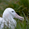 Nesting Wandering Albatross - Prion Island South Georgia Island Sub Antarctic Region