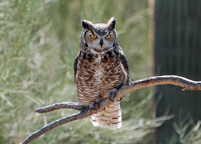 Great Horned Owl Great Horned Owl