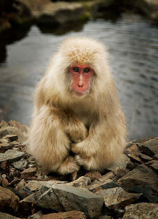"Snowy the Snow Monkey This little guy and I had a little friendship after a few days.  I spent time all over the hills and rivers here outside of Nagano taking photos of these snow monkeys. And you get to know them after a while... there are a few that you see over and over again. I started giving them names... the same way my daughter gives names to everything... and all the names were quite childish... Like I called this guy, ""Snowy."" It wasn't very creative, but he didn't seem to mind.  He followed me around morning and night. And he posed... oh how he loved to pose. Some other monkeys I got too close too and they gave me the wide-mouth attack move.... but I never got too close to Snowy. I didn't want to ruin the little grizzly-man thing we had a-goin' on.  - Trey Ratcliff  Read more (including my tips on managing airports) here at the Stuck in Customs blog."