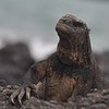 Iguana soaking in the rays in the Galapagos Islands