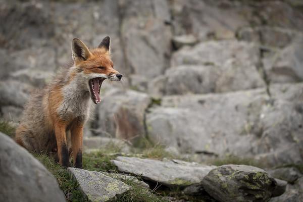 sleepy fox...