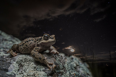The warty toad (Rhinella spinulosa) is the amphibian with the widest elevational range in the world, found from sea level to about 5200 m asl. At the high points of its range, there are no people and little light pollution or atmosphere to obscure the stars. The Inca people named a constellation Hanp'atu after this toad.
