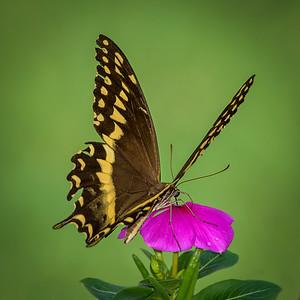 Swallowtail and Vinca