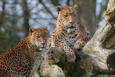 Sri Lankan leopards. Beautiful big cat animal or safari wildlife image