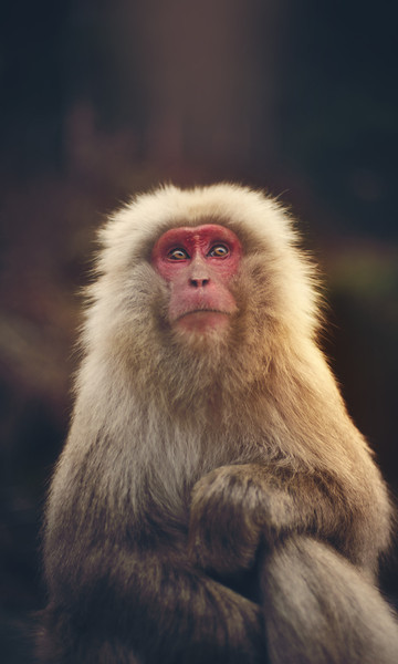 """<h2>The Snow Monkey</h2> I found this guy right outside of Nagano, Japan.  I've had this photo for a while, and I decided to process it today while hanging out with Jaime Ibarra from <a href=""""http://ibarraphoto.com"""" rel=""""nofollow"""">IbarraPhoto.com</a> (nudity warning. nudity opportunity.) We spent all day and night processing photos. He's a great guy. His techniques are so unique! I was able to convince him to write an ebook for Flatbooks.com -- I can't wait to see it. We hope to get it out before Thanksgiving! :)  - Trey Ratcliff  Read more <a href=""""http://www.stuckincustoms.com/2011/11/04/the-snow-monkey/"""">here</a> at the Stuck in Customs blog."""
