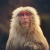 "<h2>The Snow Monkey</h2> I found this guy right outside of Nagano, Japan.  I've had this photo for a while, and I decided to process it today while hanging out with Jaime Ibarra from <a href=""http://ibarraphoto.com"" rel=""nofollow"">IbarraPhoto.com</a> (nudity warning. nudity opportunity.) We spent all day and night processing photos. He's a great guy. His techniques are so unique! I was able to convince him to write an ebook for Flatbooks.com -- I can't wait to see it. We hope to get it out before Thanksgiving! :)  - Trey Ratcliff  Read more <a href=""http://www.stuckincustoms.com/2011/11/04/the-snow-monkey/"">here</a> at the Stuck in Customs blog."