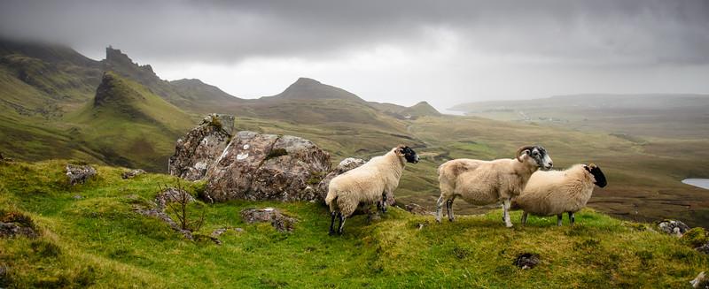 Sheep surveying the Quiraing