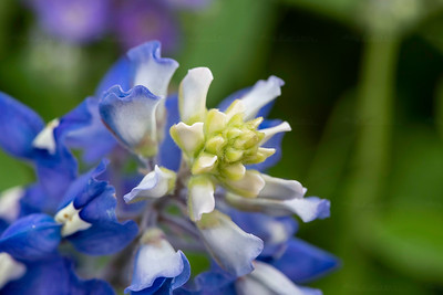 Up close of a bluebonnet