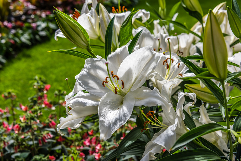 White Trumpet Lily