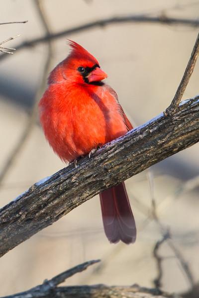 Male Cardinal-3726