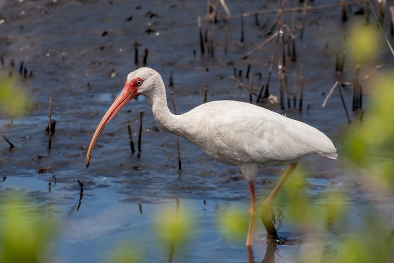 White Ibis, Merritt Island, FL - taken by Jerry Dalrymple