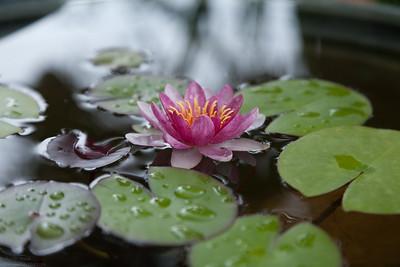 Water Lilies in my mothers garden