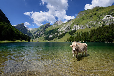 Swimming Cow in Seealp Mountain Lake