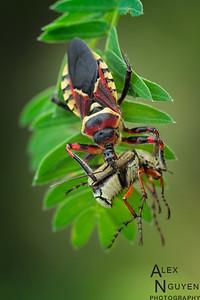 Bee Assassin with Prey - Apiomerus sp.
