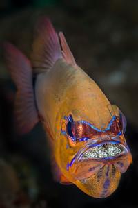 Mouthbrooding Ringtailed Cardinalfish