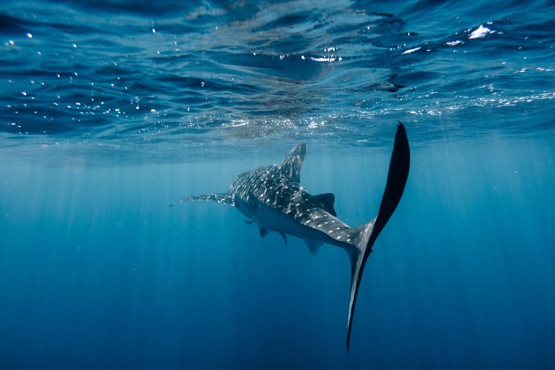Whaleshark Surface Tilt