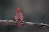 Northern Cardinal - Male-0042