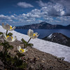 Crater Lake Pasqueflowers