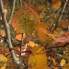 Water Droplets on Aspen Leaves