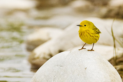 Yellow Warbler Keeping Watch