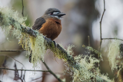 The White faced nunbird (Hapaloptila castanea) a rare inhabitant of the South American cloudforest. It is elusive and more often heard than seen.