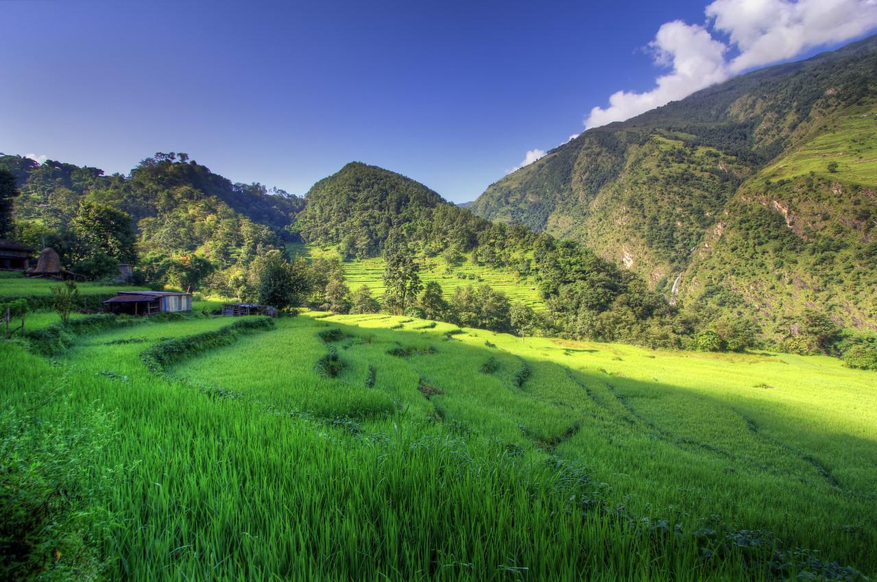 Rice fields of Nepal